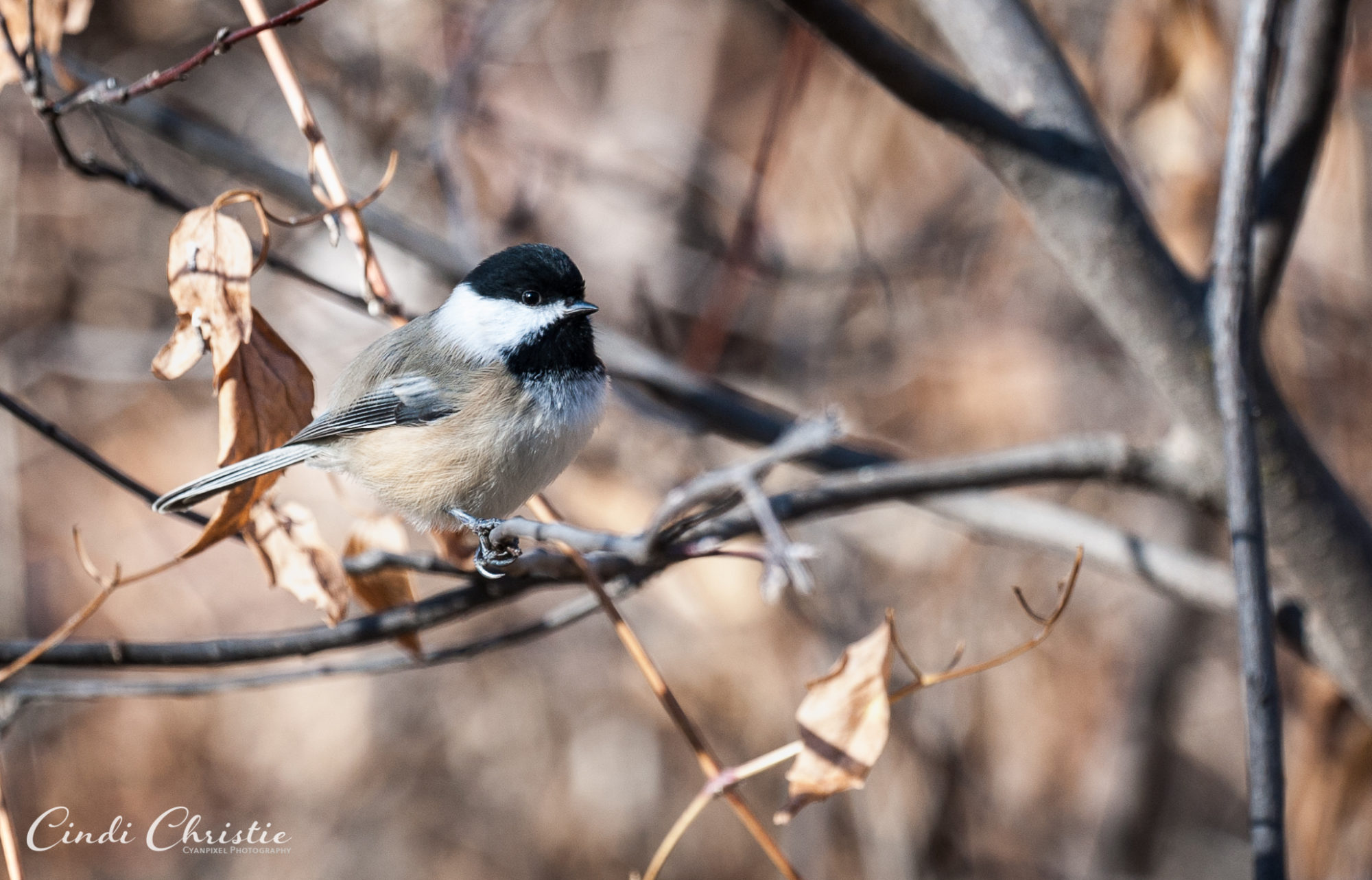 A black-capped chickadee flits among the trees in the yard of Hap and Raylene Lomonaco on Nov. 7, 2017, in Salmon, Idaho. (© 2017 Cindi Christie/Cyanpixel)