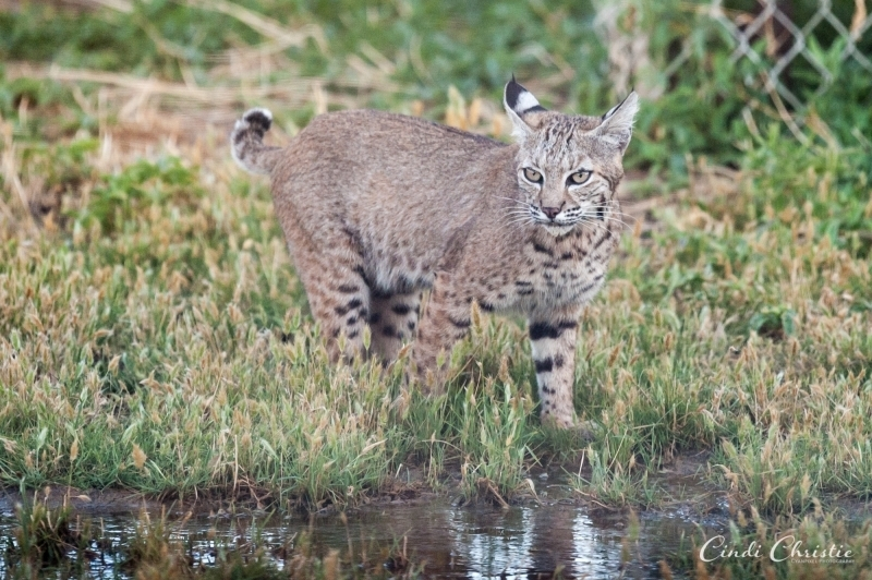 A bobcat approaches an overwatered portion of the yard, which attracts thirsty wildlife.  (© 2018 Cindi Christie/Cyanpixel)