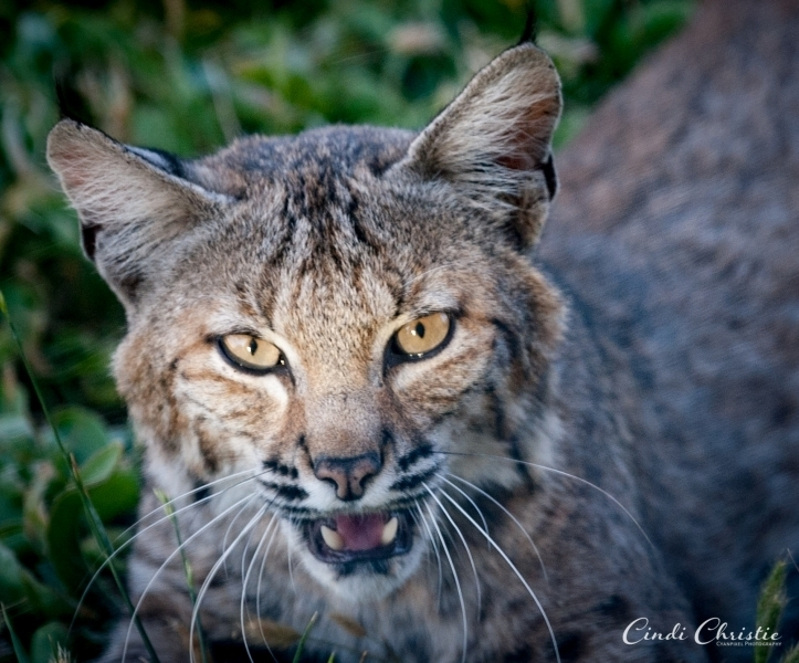 A bobcat's face is highlighted by the setting sun,  (© 2018 Cindi Christie/Cyanpixel)