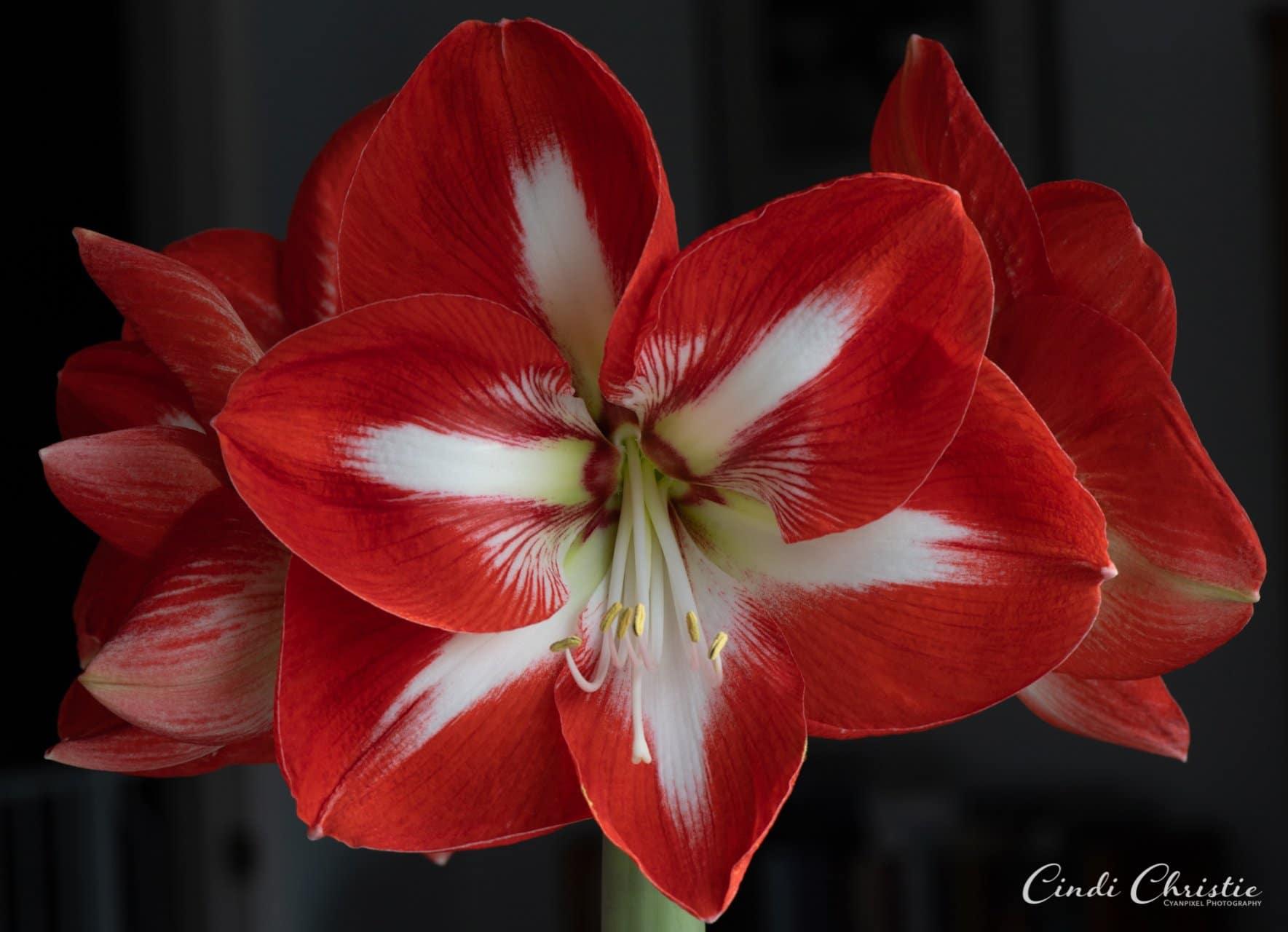 Twinkle amaryllis