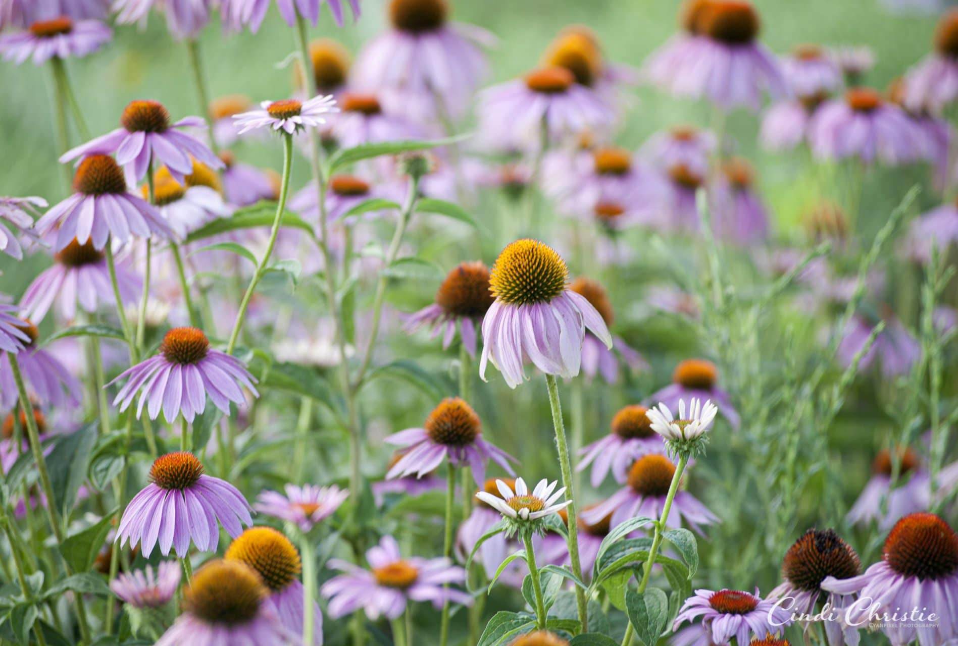 Minnesota prairie flowers