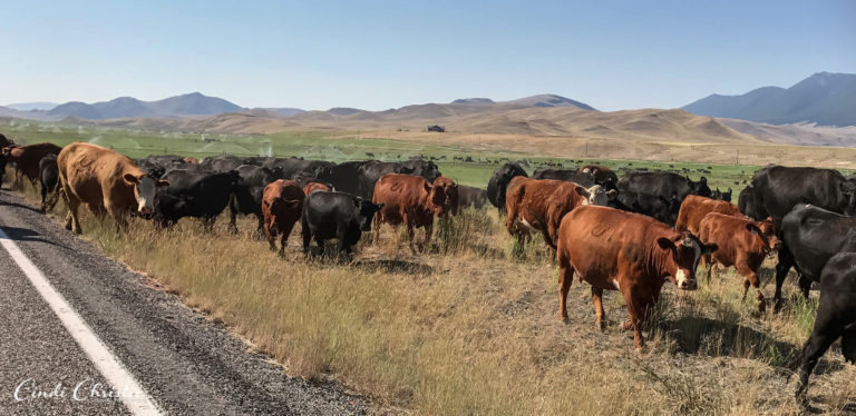 We stop for cattle drives