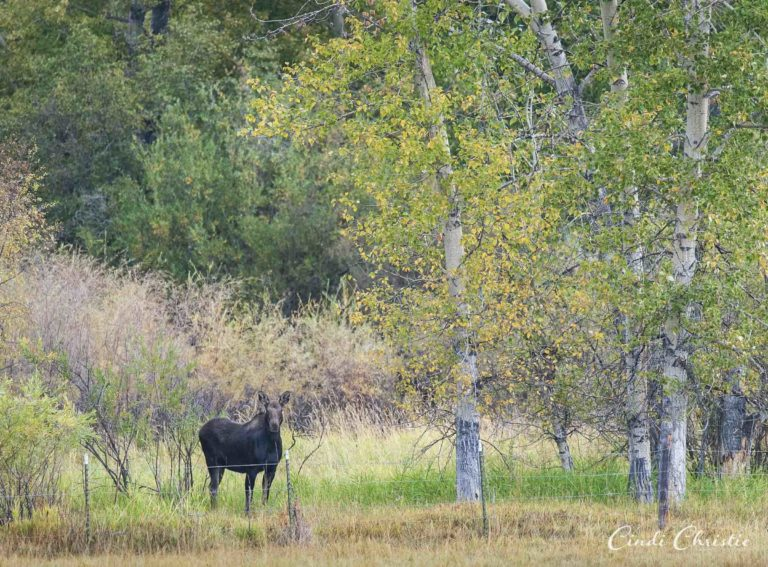 Looking for a moose in all the wrong places